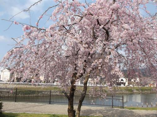 2013年春河川公園の桜(*^_^*)in福井県敦賀