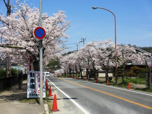 鶏たちが大騒ぎ!?石上神宮と散りゆく桜