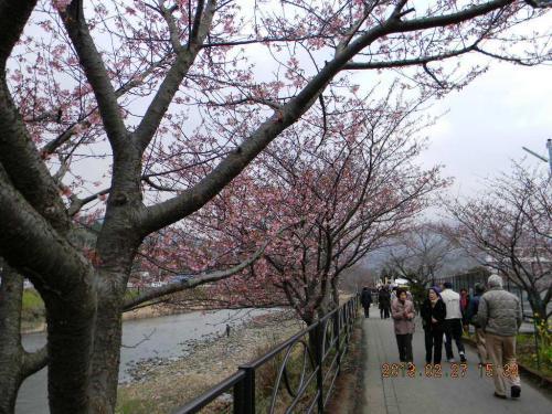 河津桜は五分咲き(2013.2.27)