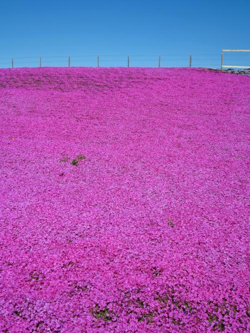 東京ドイツ村a 芝桜の丘 15万株グラデーション見ごろ ☆快晴春暖の月曜日