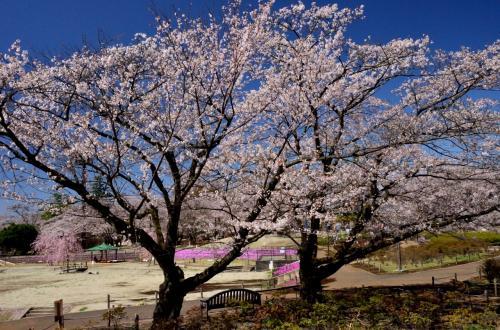 2013年観桜記 (8)長峰公園の桜と芝桜