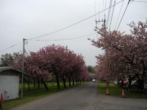 ピンクのグラディーションにうっとり 『日本花の会・結城農場・桜見本園』