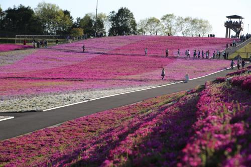 市貝の芳那・水晶湖で本州最大級の芝桜を堪能してきました。