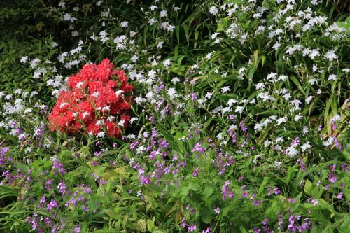 岡寺(西国三十三か所七番札所) 石楠花、牡丹が綺麗でした。シャガの花も。