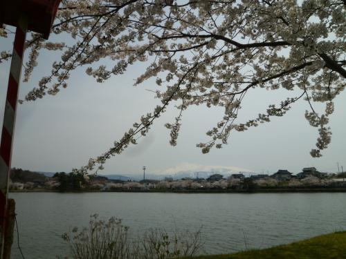 鳥海山と桜