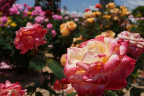 薔薇 in 富士市中央公園 2013