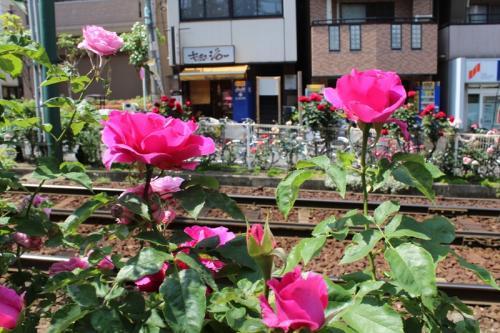都電荒川線 大塚駅周辺のバラ
