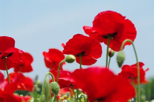 昭和記念公園のFlower Festival 2013 Lastを飾るのはシャレーポピーの赤