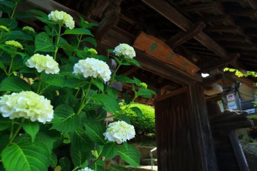 三重 豊寿庵とかざはやの里の紫陽花