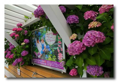 Solitary Journey [1218] 約2万株の紫陽花が満開!今年の紫陽花鑑賞はこれで満足♪<果子乃季あじさい祭り>山口県柳井市
