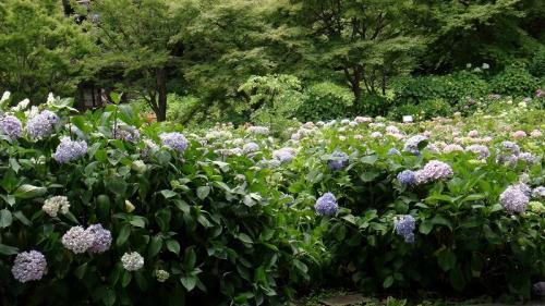 日照続き紫陽花に振られて定光寺