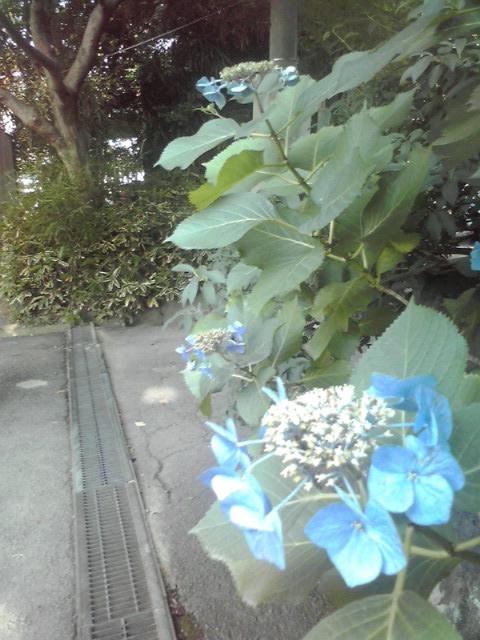 ✩高幡不動尊紫陽花祭り✩