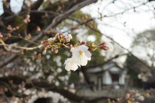 桜咲く笠寺界隈漂流