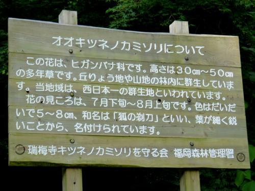 井原山のオオキツネノカミソリ