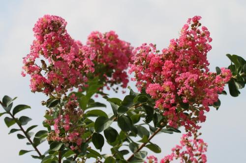 Solitary Journey [1242] 真夏の陽光をいっぱいに浴びて輝くように咲く大輪の花<2013世羅高原農場'ひまわりまつり'>広島県世羅町