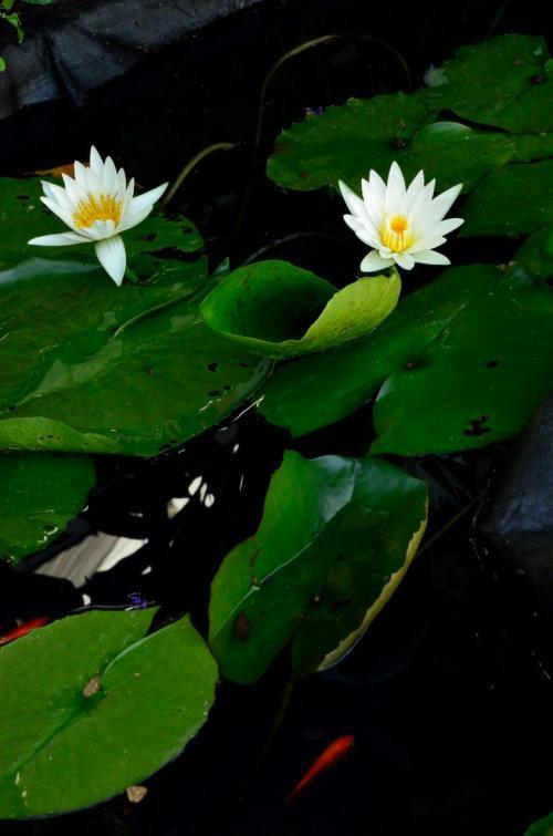 真夏のイリュージョン! 光と音のファンタジー&妖艶な睡蓮の花
