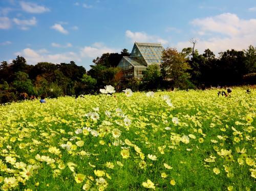 野田-5 花ファンタジアd コスモスフェスタ2013 見ごろ ☆新種・珍種も手入れよく