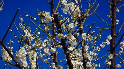 伊豆四季の花公園に咲いていた梅花の図鑑