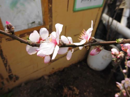 アーモンドの花が咲きましたに魅せられて