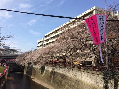 東京散歩 お花見 目黒川