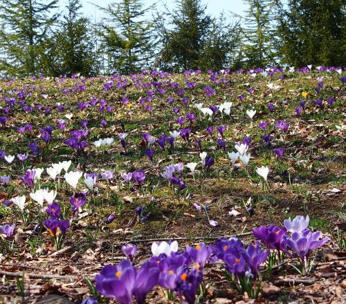 ★東北の春★やっと早春のお花たちが目覚めて・・・☆クロッカスの丘、クリスマスローズの丘・・・など☆みちのく杜の湖畔公園☆