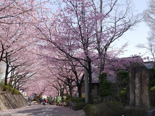 川口安行 密蔵院 安行桜☆2014/03/28