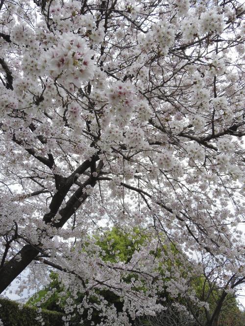 桜通りの桜