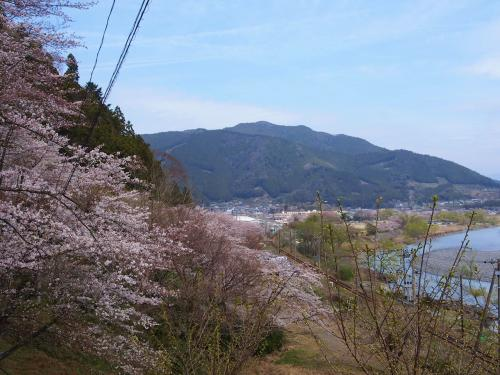 お茶の名産地に春到来 / かわね桜まつり