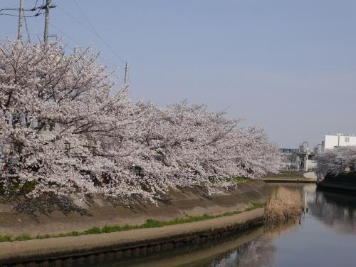 草加松原 桜巡り☆2014/04/01