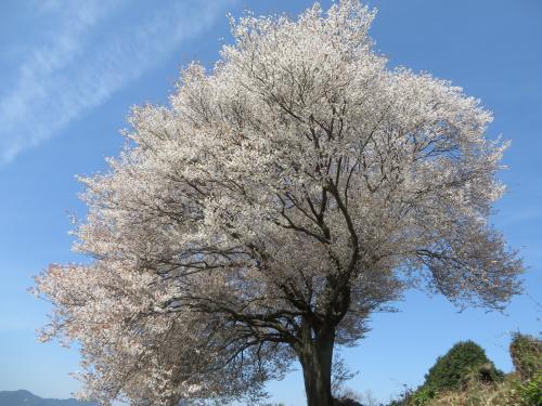 馬場の山桜と円応寺の桜 4/1