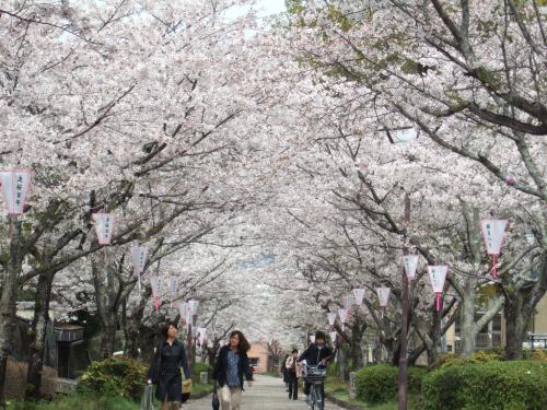 我が母校が有る旭ケ丘公園を訪ねて(花見)