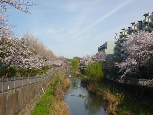 横浜の知られざる桜の名所、いたち川周辺と證菩提寺