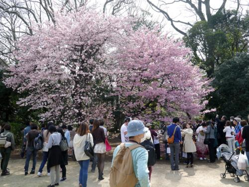 新宿御苑でお花見(2014年3月)