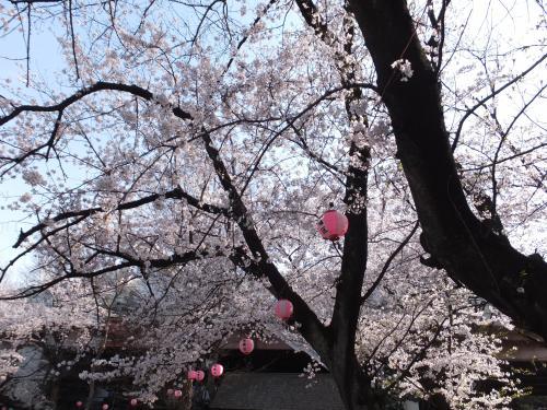 満開の桜 板橋さんぽ