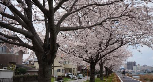 2014桜を探す気ままなドライブ。茨城県南からちょこっと千葉県へ
