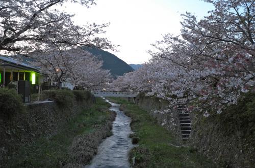 一の坂川の夜桜と徳佐八幡宮のしだれ桜。八幡宮近くの1本桜も美しかった。