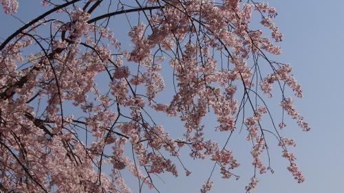桜追っかけ一人旅(07) みかも山西口駐車場の枝垂れ桜 下巻