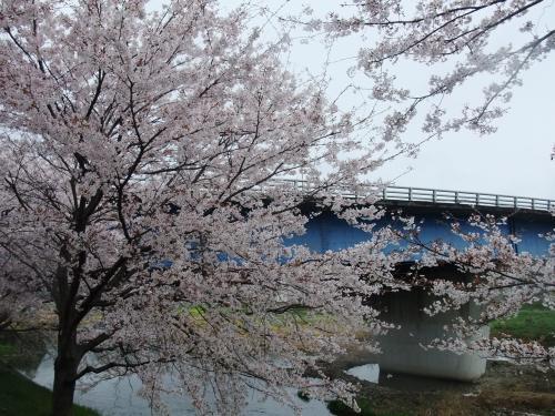 桜流の雨と井原堤のサクラ