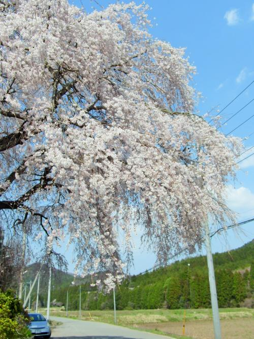 里山の桜たち