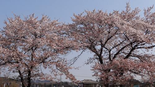 桜追っかけ一人旅(17) 佐野市 旗川緑地の観桜