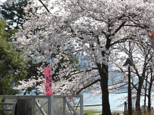 湖と山の接するところ 海津大崎にサクラ咲く