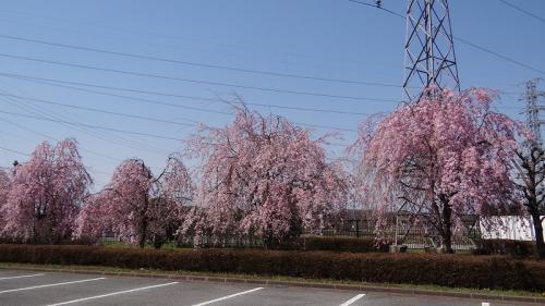 桜追っかけ一人旅(61) 高根沢町  宝積寺アクアセンターの枝垂れ桜