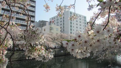 大岡川 花見 さくら桜  桜吹雪