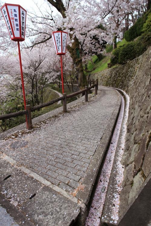 福井 桜めぐり~丸岡城、一乗谷城跡
