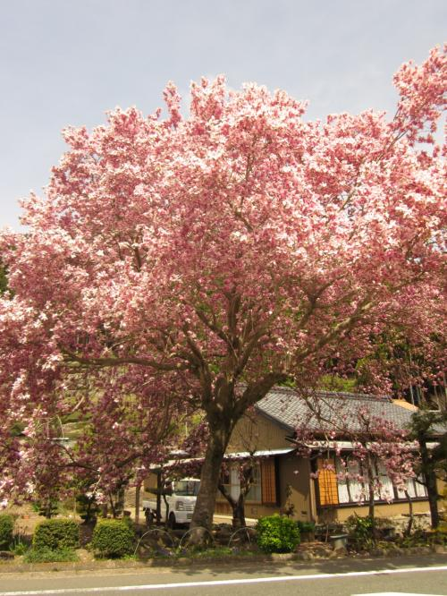 一本桜をひたすら巡るタビ、そして17本