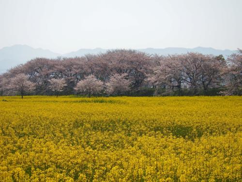 走るソムリエと行く奈良  長谷寺特別拝観と満開の又兵衛桜・大野寺しだれ桜♪