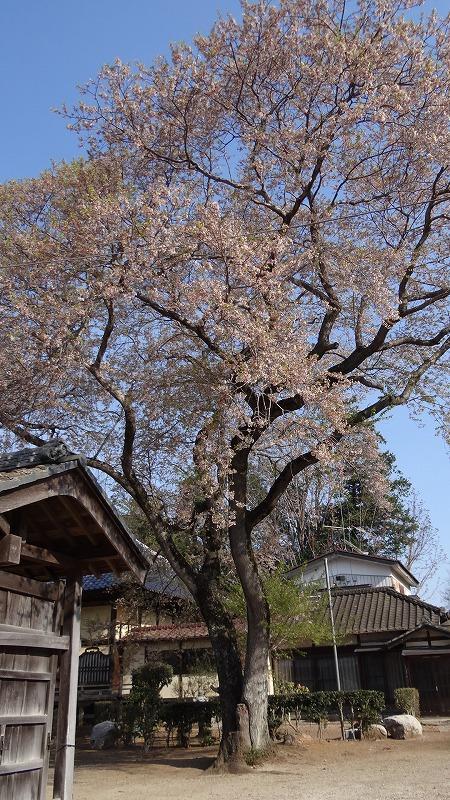 桜追っかけ一人旅(85) 下妻市 観音寺の枝垂れ桜(樹齢300年)