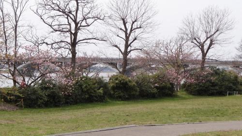 桜追っかけ一人旅(94) 我孫子市 手賀沼親水広場