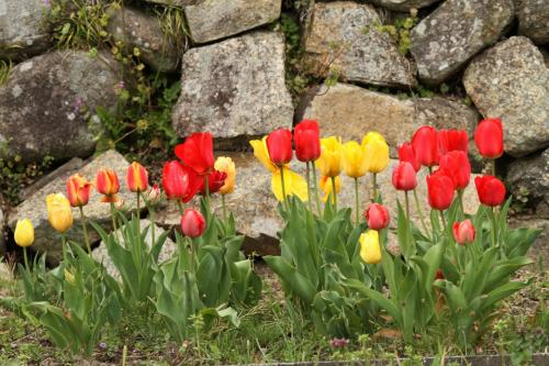 Solitary Journey [1371] 田んぼの法面に植えられた芝桜がきれいに開花していました。<シバザクラの里、乃美地区>広島県東広島市
