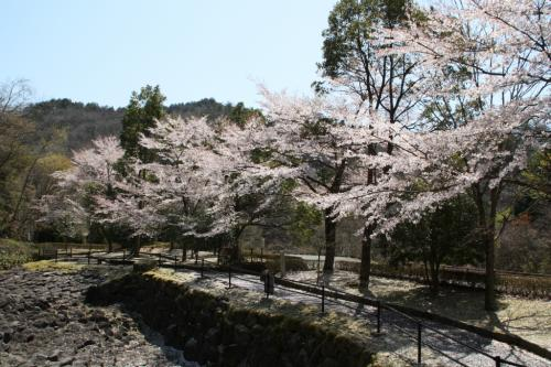 福知山の桜2 やくの玄武岩公園・福知山城